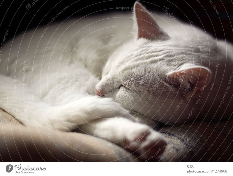 Gino I Pelt White-haired Pet Cat 1 Animal Relaxation Sleep Happy Love of animals Serene Calm Cute Soft Fatigue white cat Cat's ears Colour photo Interior shot
