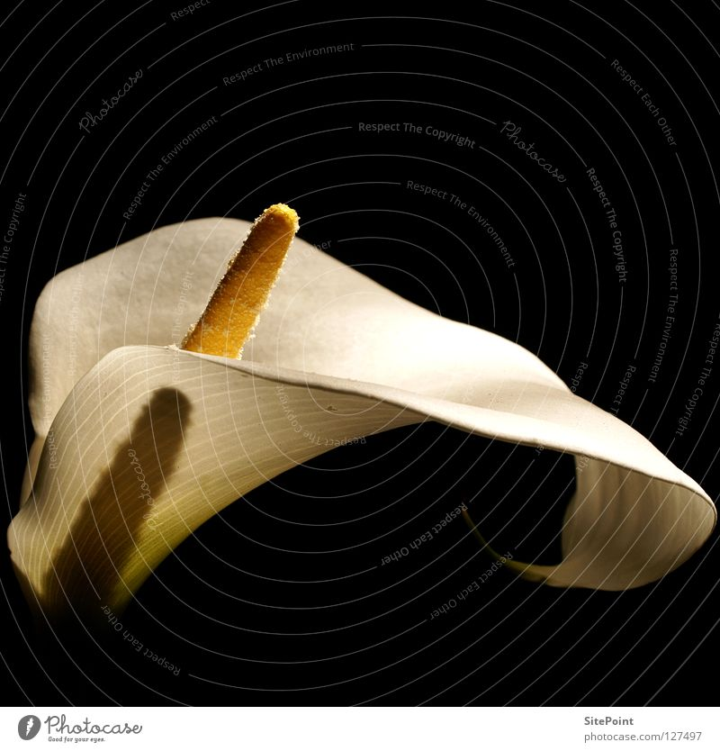 White Flower Black Blossom Elegant Noble Calla