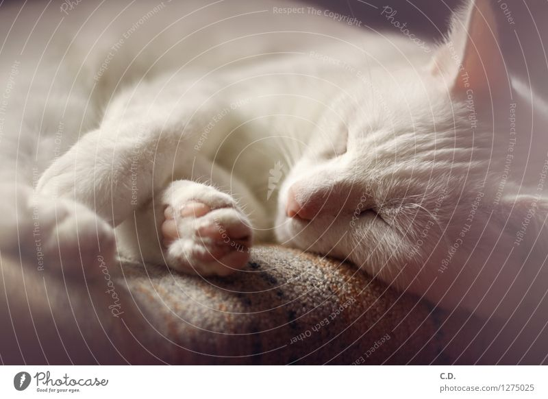 Cat Relaxation Cute Sleep Pelt Pet Fatigue Short-haired White-haired Cat's paw