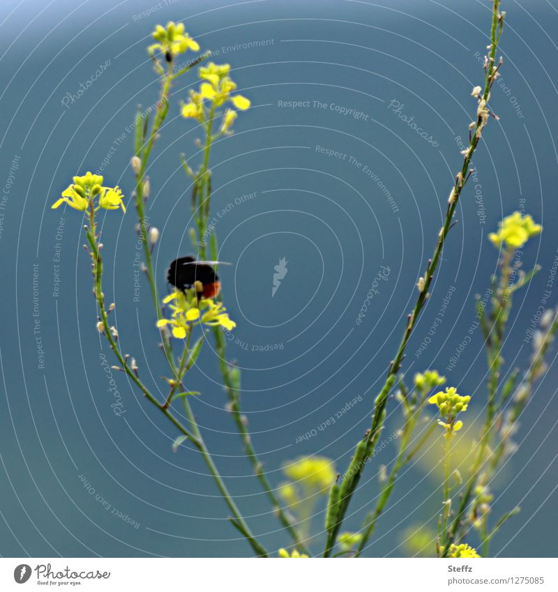 summer impression with a bumblebee Bumble bee bomb Wallflower mycelium muralis native wild plant Domestic pollinator Sprinkle pollinating insect Idyll