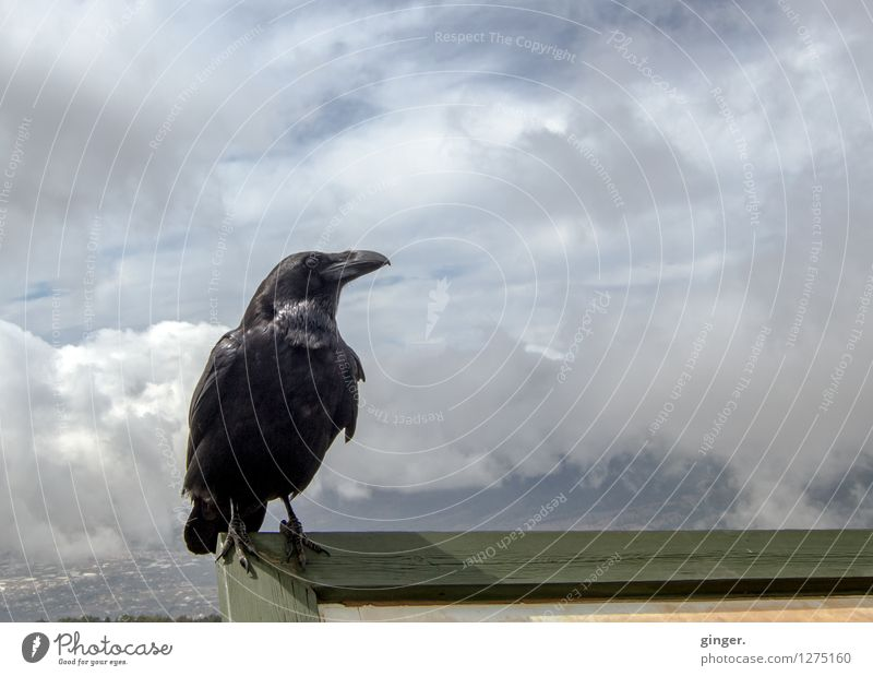 Sky Clouds Animal Black Bird Above Glittering Signs and labeling Wind Feather Sit Wing Tall Animal face Brash Beak
