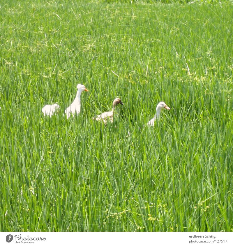 chattering ladies in the field Grass Field Bird Green Blade of grass Goose Rice Row Behind one another Poultry To go for a walk Exterior shot
