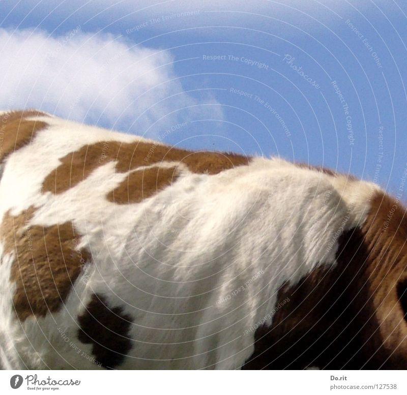 Sky White Blue Summer Clouds Colour Brown Back Soft Alps Pelt Cow Pasture Cozy Patch Mammal