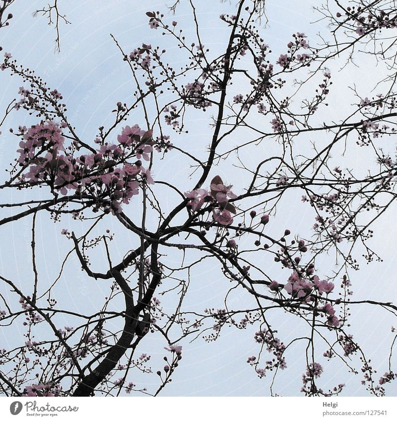 Branches with blossoms of the decorative cherry in front of a grey sky Blossom Blossoming Tree Spring March April Spring flowering plant Branchage Branched