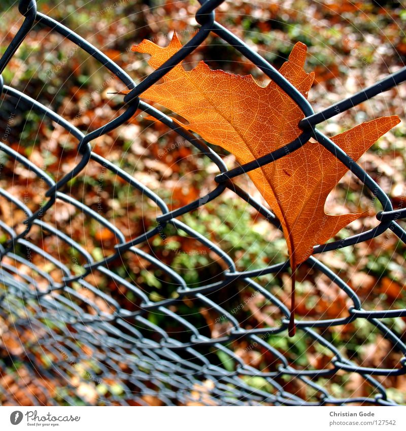 Caught part 2 Autumn Leaf Fence Brown Green Tree Wire netting Wire netting fence Seasons Summer Winter Border Safety (feeling of) Maple tree Oak tree Alder
