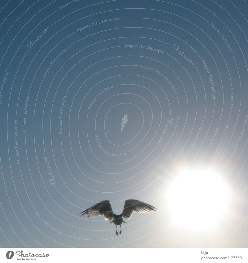 Like phoenix from the ... sun Bird Seagull Beach Exterior shot Sunrise Summer Ocean Sky Blue Freedom Contrast Beautiful weather larus Flying Aviation Wing