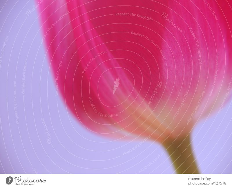 Beautiful Flower Blue Summer Blossom Spring Pink Background picture Elegant Violet Tulip Fragile Netherlands Calyx