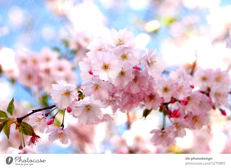 Cherry blossoms on a tree Wellness Harmonious Senses Fragrance Valentine's Day Mother's Day Plant Spring Tree Flower Blossom Garden Park Blossoming Growth