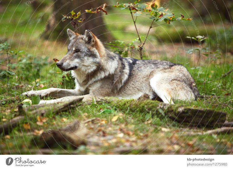 Grey wolf in a park Animal Wild animal Wolf 1 attention beauty danger dangerous earth forest furry grass hide hunt hunting mammal wilderness wolves Colour photo