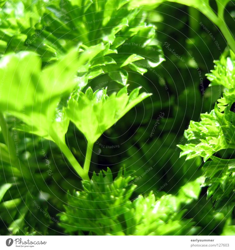 allow me, Peter Silie Parsley Green Near Herbs and spices Cooking Kitchen Ingredients Herb garden Dinner Dinner table Decoration Macro (Extreme close-up)
