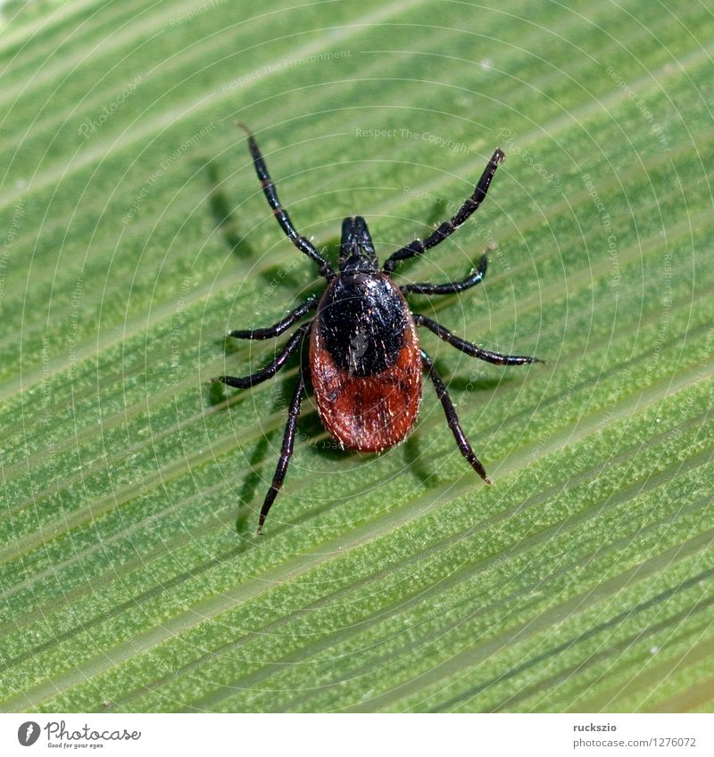 Tick; Woodbuck; Ixodes; ricinus; Nature Grass Spider Brown Green Wood tick tick bite more bloodsucking Parasite Bloodsucker sign tick wooden trestle pathogens