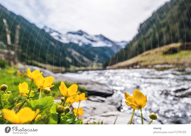 Marsh marigolds at the mountain lake Spring Plant Flower Wild plant Alps Mountain Lakeside Brook Riesach Lake Blossoming Illuminate Yellow Gold Unwavering