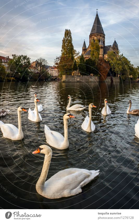Metz Swans Lake metz France Town Downtown Old town Church Cathedral Group of animals Swimming & Bathing Blue Gray Colour photo Exterior shot Deserted Day