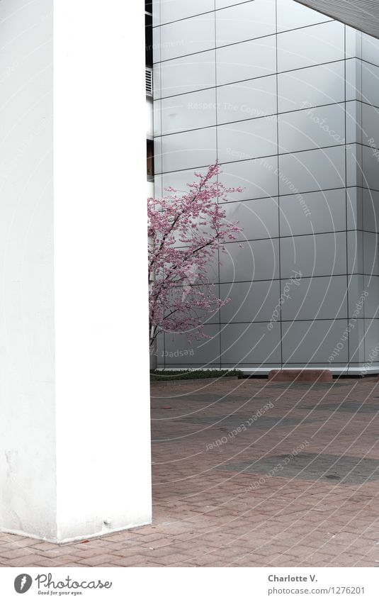 City Plant White Tree Loneliness Cold Environment Wall (building) Spring Building Wall (barrier) Wood Gray Bright Pink Facade