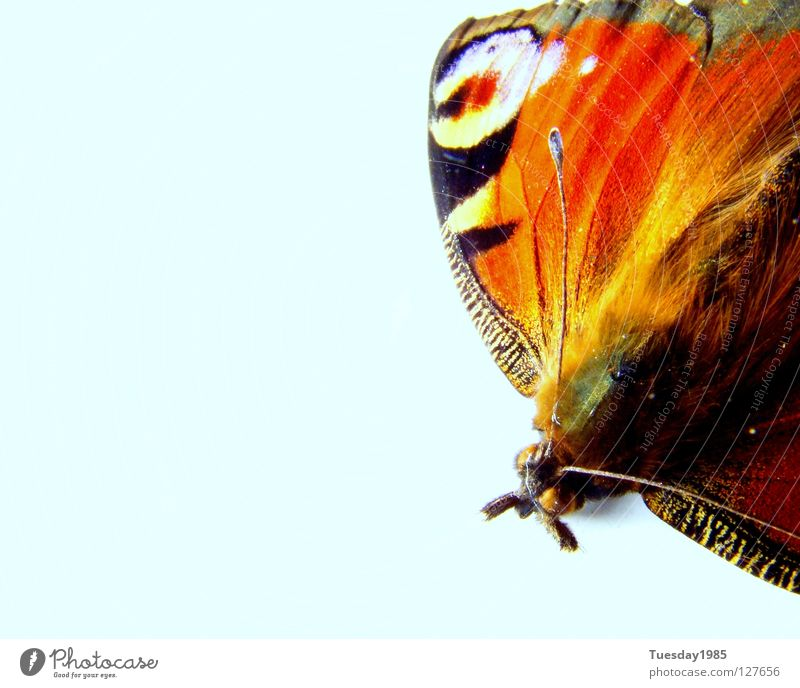 The last rest Butterfly Animal Multicoloured Calm Loneliness Macro (Extreme close-up) Close-up Nature Contrast Blue Colour