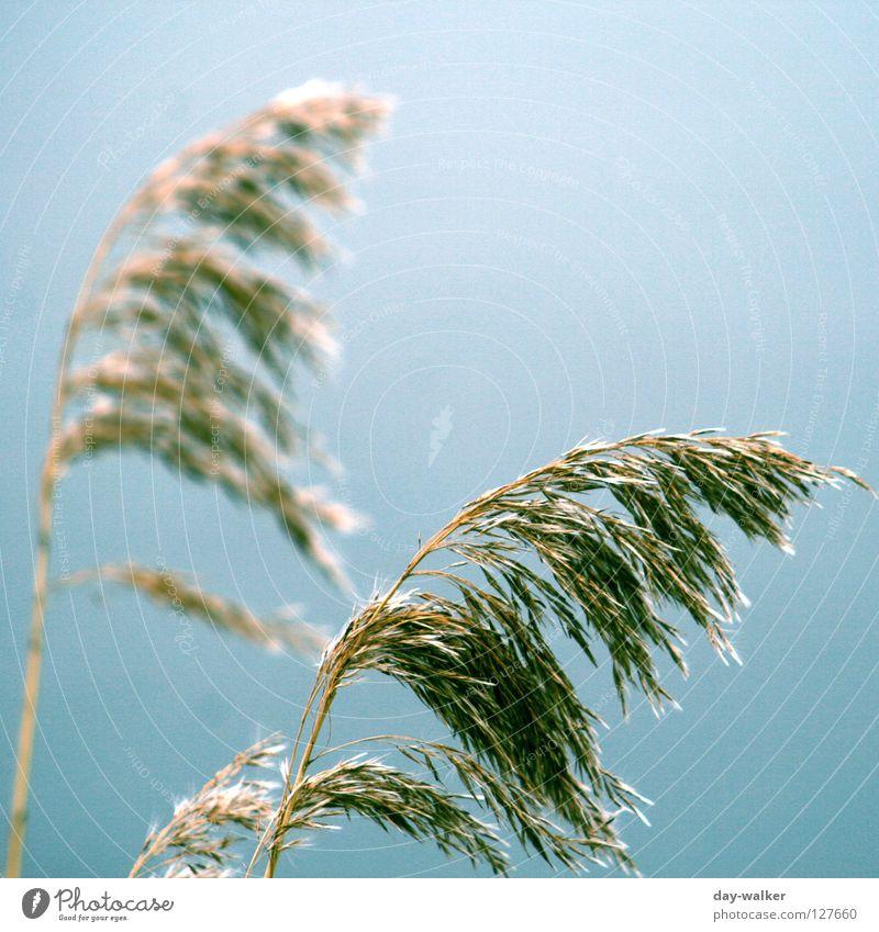 windbreaker Grass Field Lake Gale Breeze Stagger Ear of corn Blur Brown Green Autumn Sky Nature wag Grain Coast Wind boe Contrast focus Blue
