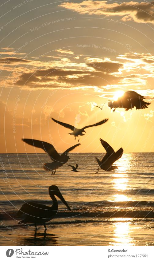 Florida birds Sunset Beach Bird Pelican Seagull Ocean Sky USA bids vacation seagulls water