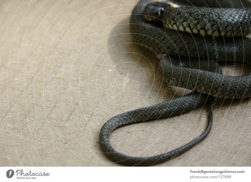 grass snake Animal Observe Ring-snake Fear Poison Striped Panic Snake Hide Flexible