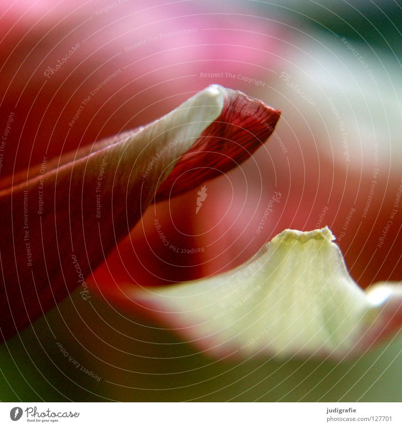 White Red Colour Death Blossom Spring Delicate Fragrance Tulip Blossom leave Like Limp