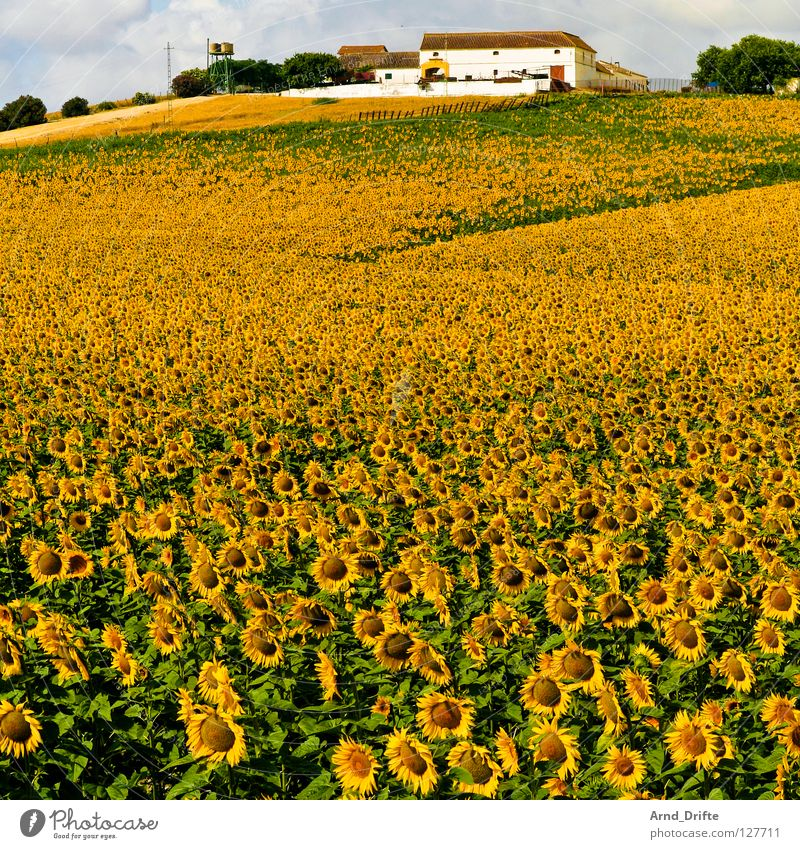 Sunflower field V Clouds Field Flower Summer Yellow White Spring Horizon Agriculture Diligent Work and employment Happiness Friendliness Fresh