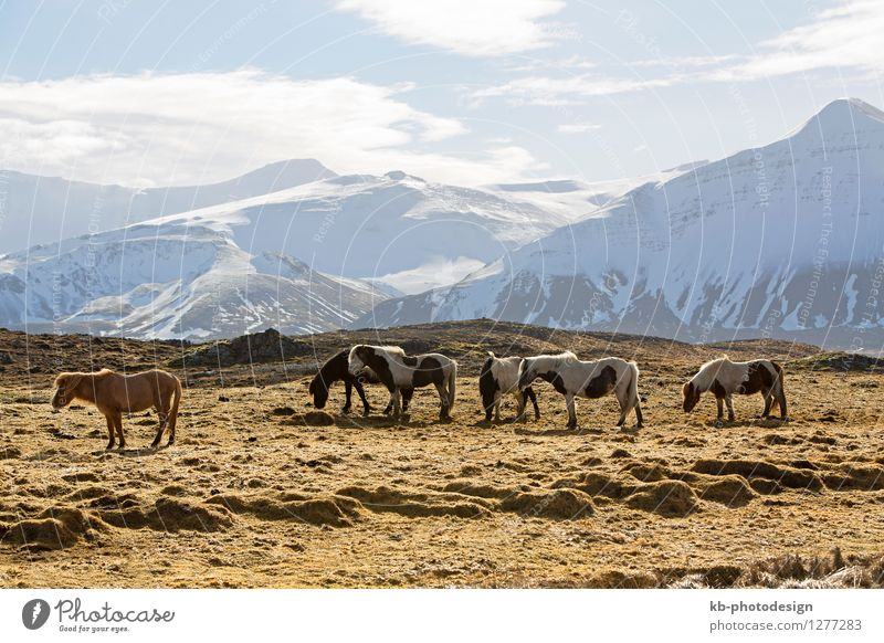 Herd of Icelandic horses in front of snowy mountains Vacation & Travel Tourism Far-off places Winter Mountain Landscape Spring Volcano Iceland pony