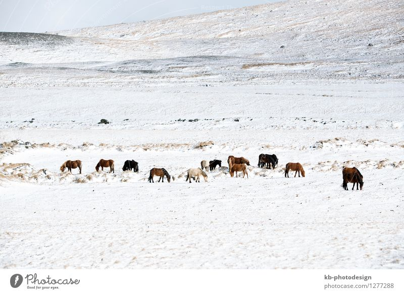 Herd of Icelandic horses in snowy mountain landscape Vacation & Travel Tourism Adventure Far-off places Winter Winter vacation Landscape Climate Climate change