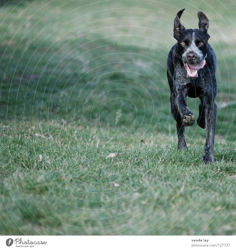 Dog Joy Animal Meadow Grass Air Weather Brown Walking Running To go for a walk Lawn Ear Hunting Athletic Mammal