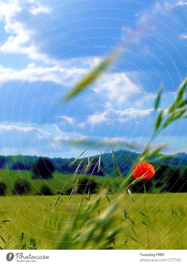 poppy blue Red Field Flower Blur Snapshot Blue Nature Contrast Sky