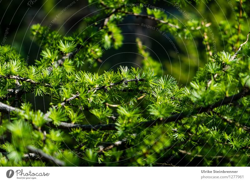 larch branch Environment Nature Plant Spring Tree Larch Twig Coniferous trees Fir needle Alps Mountain Illuminate Growth Fresh Natural Point Green Spring fever
