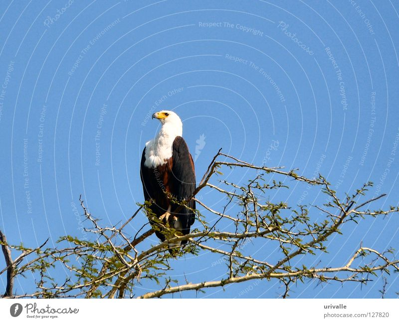 fisher eagle Sky Malawi Africa Bird sea blue tree leafs fly lake eye hot