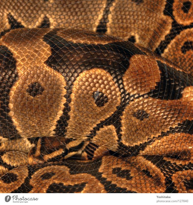 Beautiful Black Yellow Gold Fear Circle Round Africa Respect Reptiles Snake HDR Terrarium Assassin