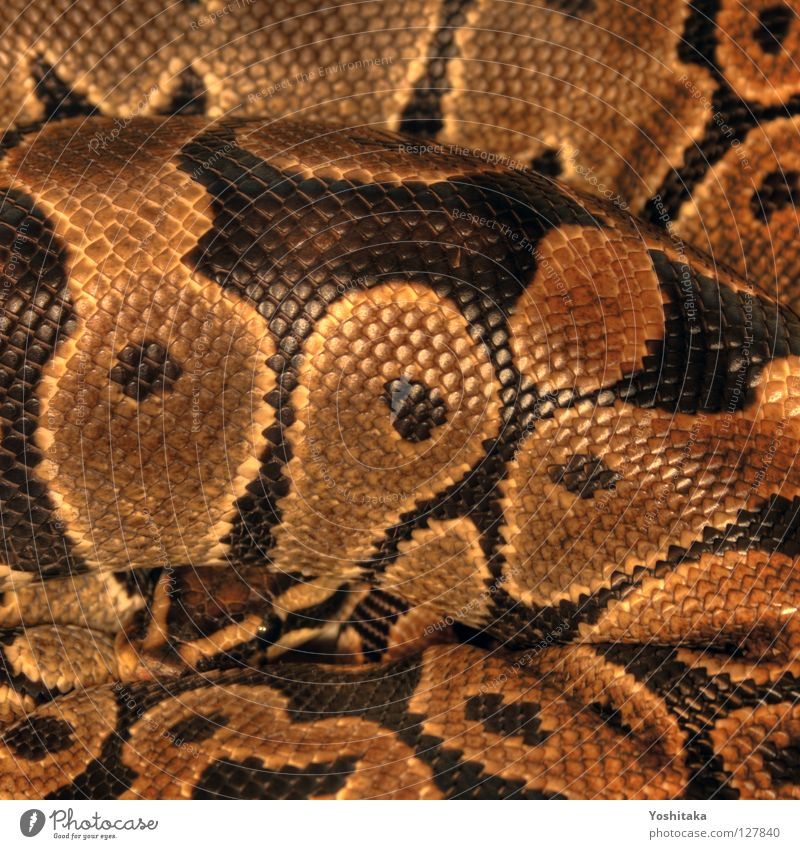 Introverted Grace Terrarium Reptiles Africa Black Yellow Pattern Round Assassin HDR Beautiful Snake python king python köpi ball snake Gold Looking Circle