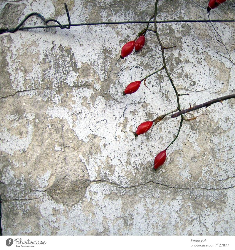 Red fruits 2 Rose Wall (building) White Wall (barrier) Thorn Plaster Wire Corner Derelict Berries Branch Twig Colour Crack & Rip & Tear Old Dog rose