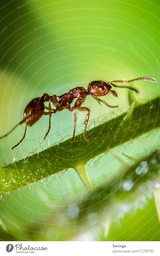 On the ascent ( ant ) Nature Plant Animal Garden Park Meadow Field Forest Beetle Animal face 1 To feed Crawl Insect Ant Column of ants Ant-hill Colour photo