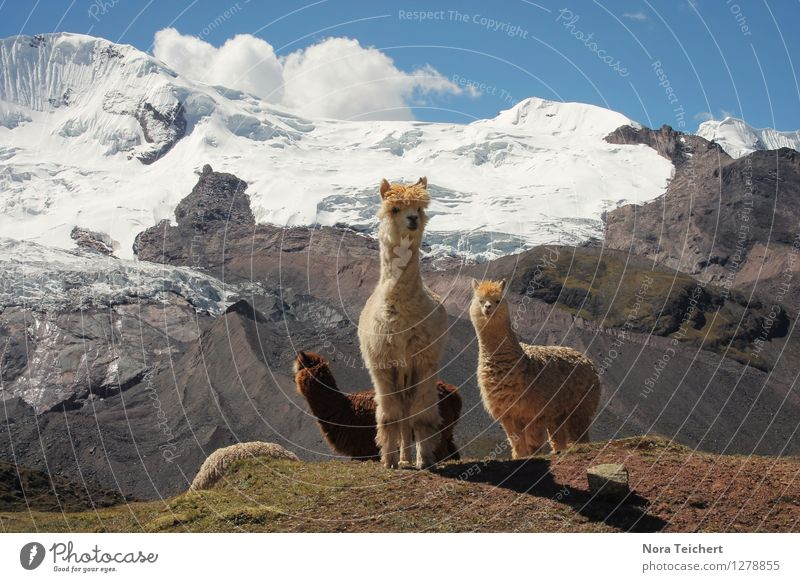 Hello Lamas. Environment Nature Landscape Animal Earth Sky Clouds Climate Beautiful weather Snow Mountain Peak Glacier Peru South America Stone Funny Cute Moody