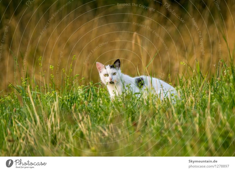 Cat in the grass Environment Nature Plant Animal Summer Climate Climate change Weather Grass Garden Park Meadow Field Pet Farm animal 1 Observe Listening