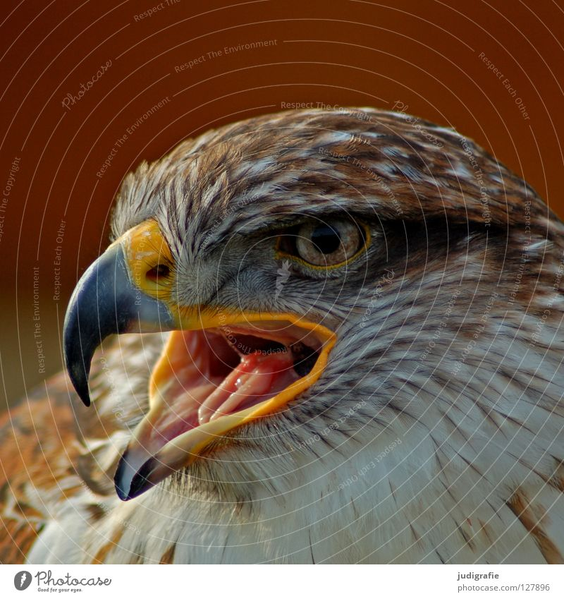 Beautiful Animal Colour Eyes Bird Feather Scream Beak Pride Bird of prey Ornithology Hawk
