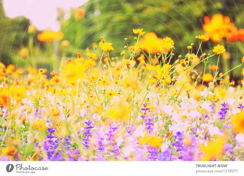 """Hot-blooded in August Nature Plant Sunlight Summer Beautiful weather Flower Blossom """"Summer sage Prairie candle Cosmea"""" Garden Park Island"""