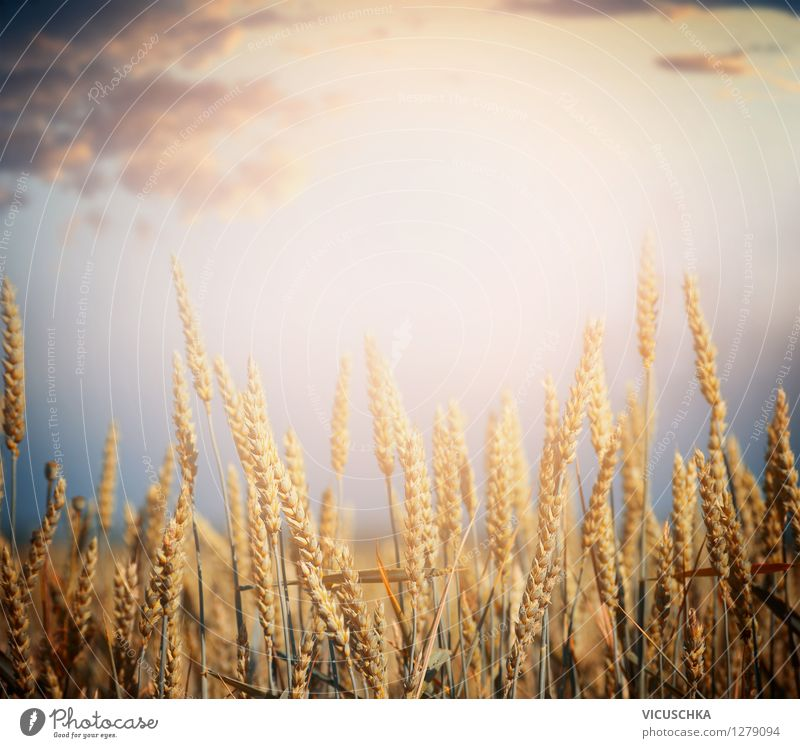Cereal field Lifestyle Design Healthy Eating Nature Landscape Sky Horizon Sunrise Sunset Sunlight Summer Autumn Beautiful weather Plant Agricultural crop Field