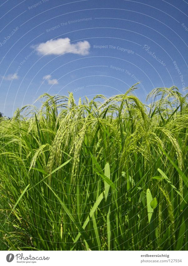 Sky Green Blue Clouds Nutrition Colour Warmth Field Food Asia Clarity Agriculture Blade of grass Grain Agriculture