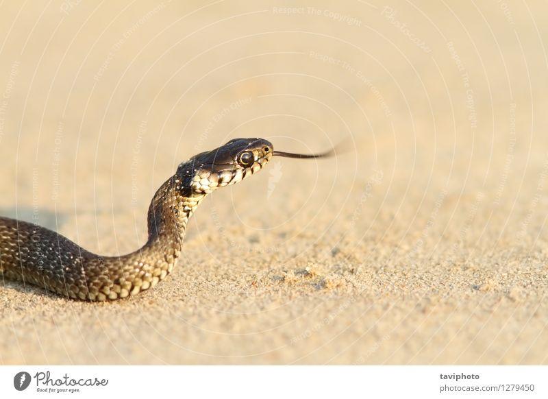 juvenile grass snake on sand Beach Youth (Young adults) Nature Animal Sand Grass Pet Snake Crawl Wild Green Black natrix natrix natrix danger Reptiles wildlife