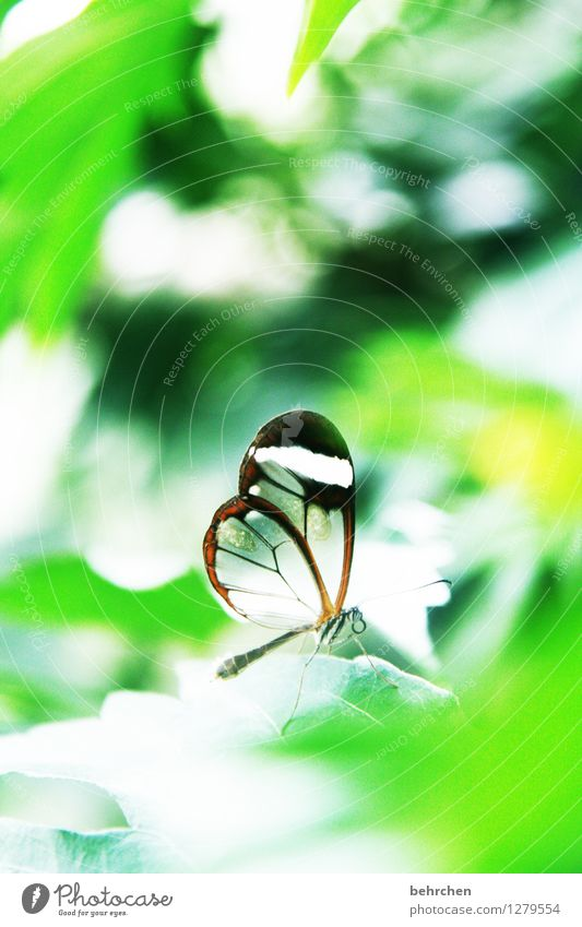 small as a snowflake Nature Plant Animal Spring Summer Beautiful weather Tree Leaf Garden Park Meadow Wild animal Butterfly Wing glass wing butterfly 1 Observe