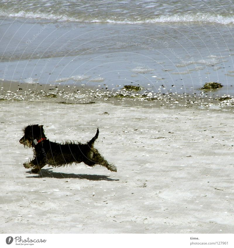 keeper of the beach Dog Beach Dachshund Ocean Western Beach Gravel White crest Waves Small Romp Playing Joy Coast Deerstalking Sand Baltic Sea Stone Walking