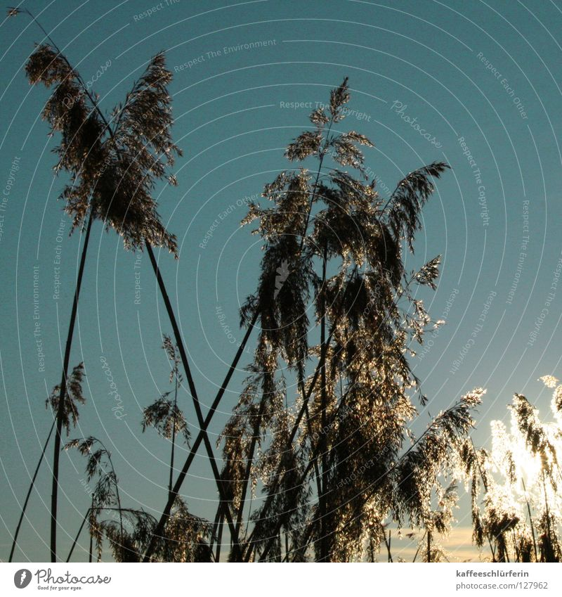 Sky Blue Cold Grass Glittering Common Reed Dusk Glimmer February Evening sun