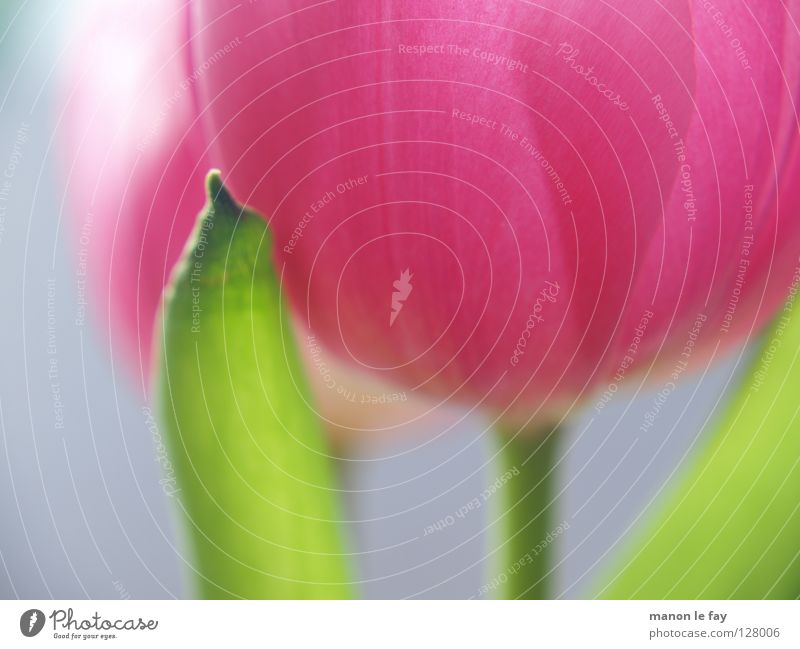 pink Flower Tulip Pink Violet Green Background picture Blur Spring Summer Blossom Calyx Netherlands Fragile Macro (Extreme close-up) Close-up Blue Elegant