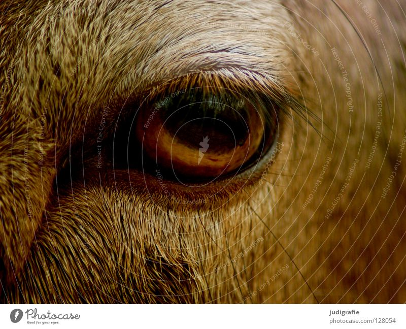 Calm Animal Eyes Colour Curiosity Pelt Serene Mammal Smooth Eyelash European Mouflon