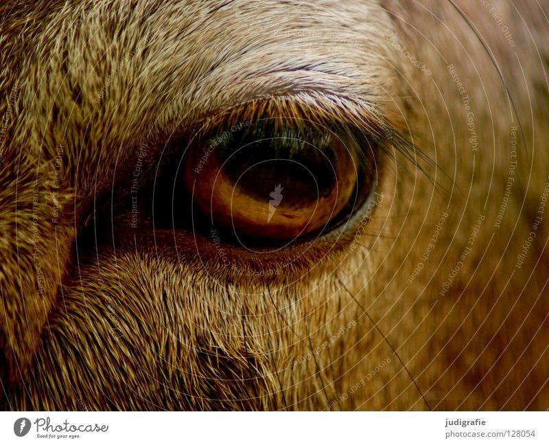 Calm Animal Eyes Colour Curiosity Pelt Serene Mammal Smooth Eyelash European Mouflon