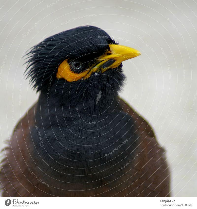 Blue Black Eyes Animal Yellow Gray Brown Bird Flying Near Feather Asia Thief Beak Thailand Tar