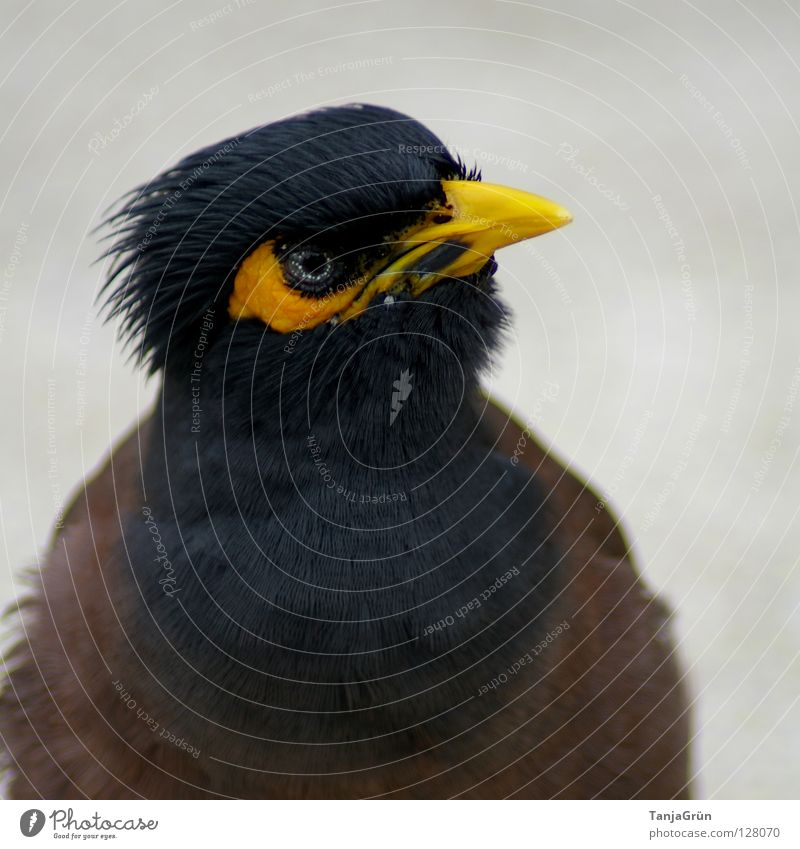 *¶ thieving ¶ Yellow Black Brown Gray Bird Animal Thief Beak Tar Thailand Koh Samui Feather Asia Macro (Extreme close-up) Close-up Blue grey pet larcenously