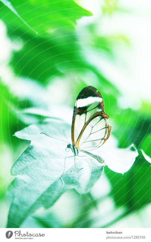 Weightless Nature Plant Animal Spring Summer Leaf Garden Park Forest Virgin forest Butterfly Wing glass wing butterfly 1 Observe Flying Sleep Sit Exceptional